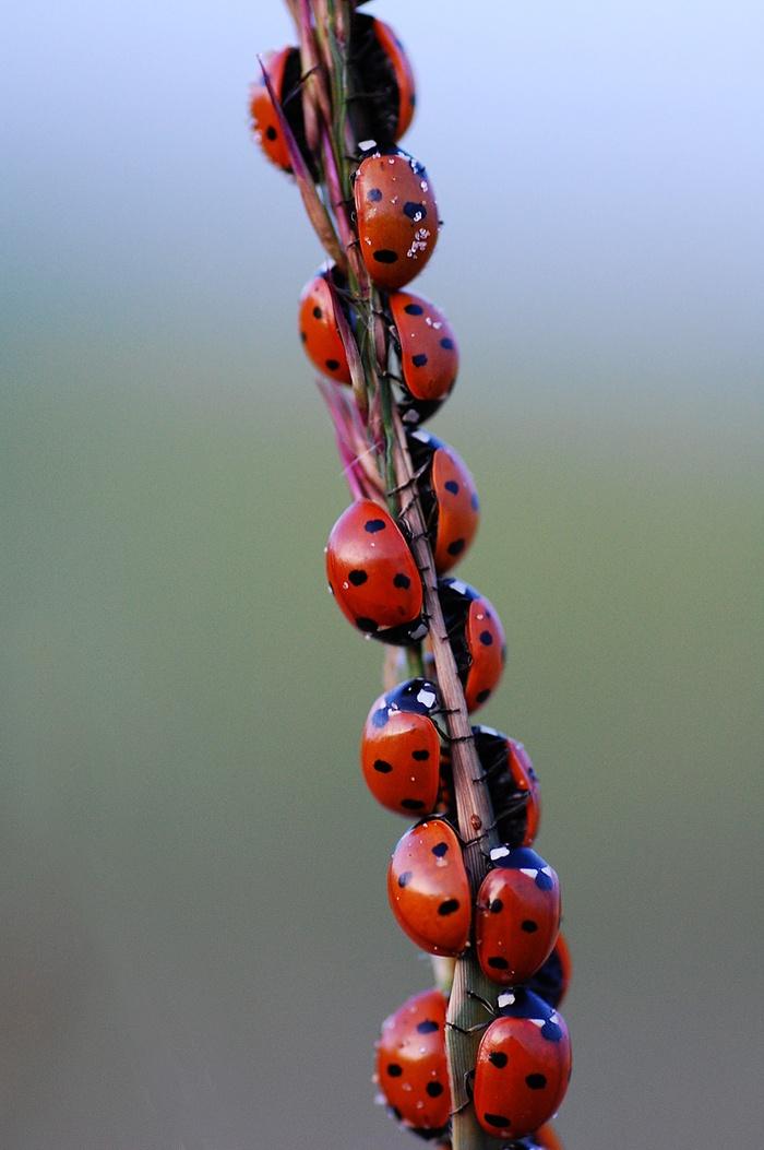 Uç uç böceği uğur böceği nedir farmapest haşere kontrol
