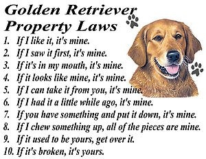 golden retriever resim 3